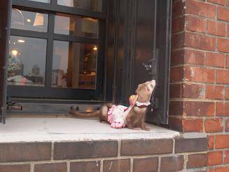 フェレットが赤レンガ倉庫の窓辺でポーズ