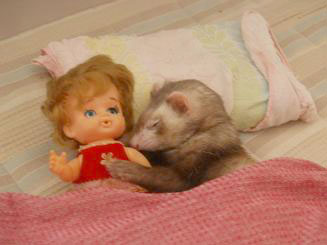 寝冷えしないように自分は毛布をかけるフェレット