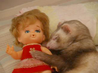 人形を寝かしつけて自分も眠るフェレット