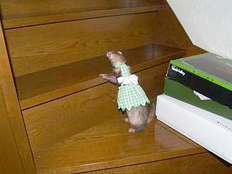 階段の高さに躊躇するフェレット