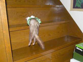 フェレットの階段のぼり