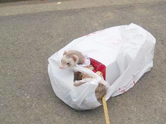 スーパーの袋で遊ぶフェレット