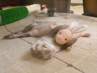 うさぎのぬいぐるみを抱えて眠るフェレット