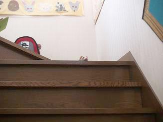 階段から降りないフェレット