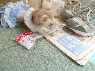 新聞を読むフェレット