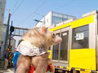 電車に挨拶するフェレット