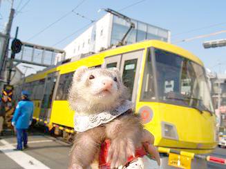 電車の前でポーズをとるフェレット