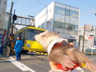 黄色い電車を見送るフェレット