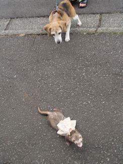 フェレットとビーグル犬