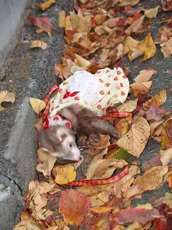 秋のフェレット・枯れ葉で遊ぶ
