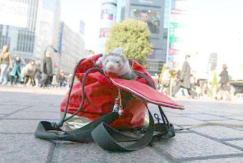 渋谷の前で袋に入るフェレット