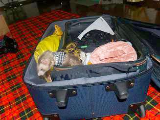 スーツケースに入るフェレット