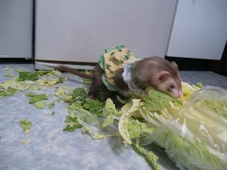 白菜を食い散らかすフェレット