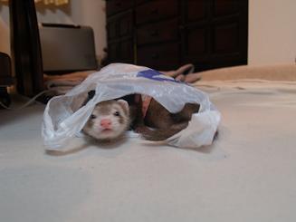 フェレットはビニール袋が好き