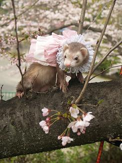 桜の木の上に上るフェレット