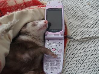 携帯電話で話すフェレット