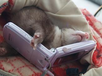 携帯電話を持つフェレット