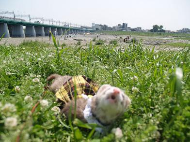 多摩川で叫ぶフェレット