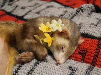 お花を抱きかかえる熟睡フェレット