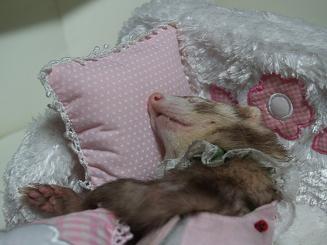 クッションを枕にして眠るフェレット