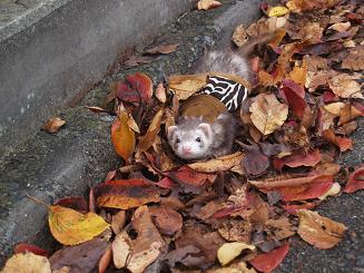 枯れ葉とフェレット