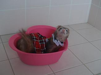 風呂桶フェレット
