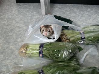 お野菜フェレット