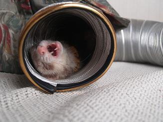 トンネルであくびするフェレット