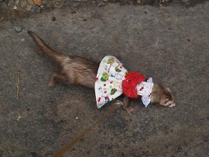 赤いリボンとキティちゃんの服を着て歩くフェレット