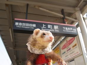 フェレットが上野でポーズ。