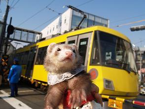 黄色い電車とフェレットと。