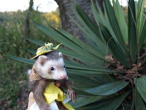 ひまわり帽子をかぶったフェレット