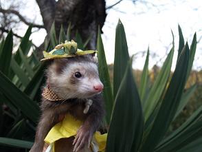 黄色い帽子をかぶったフェレット