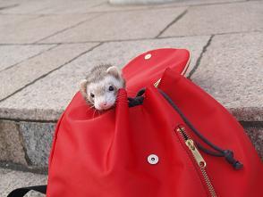 フェレットが赤いバッグからチラリ。