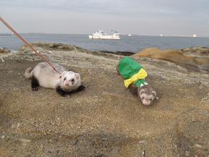 三浦海岸でフェレット友達と。