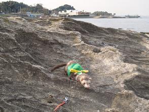 フェレットが海岸の岩場を歩く