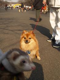 犬に見つめられるフェレット