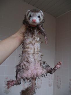お風呂に入ってずぶぬれフェレット